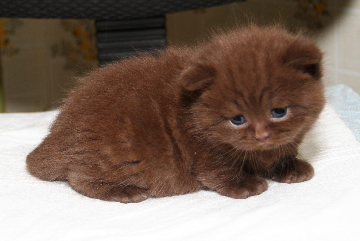Pin by Avrtatiana on British ️Cats ️ Cats, Animals, pets