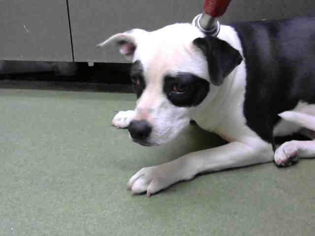 Rescue Only Homeless Pets Dog Adoption Pitbull Rescue