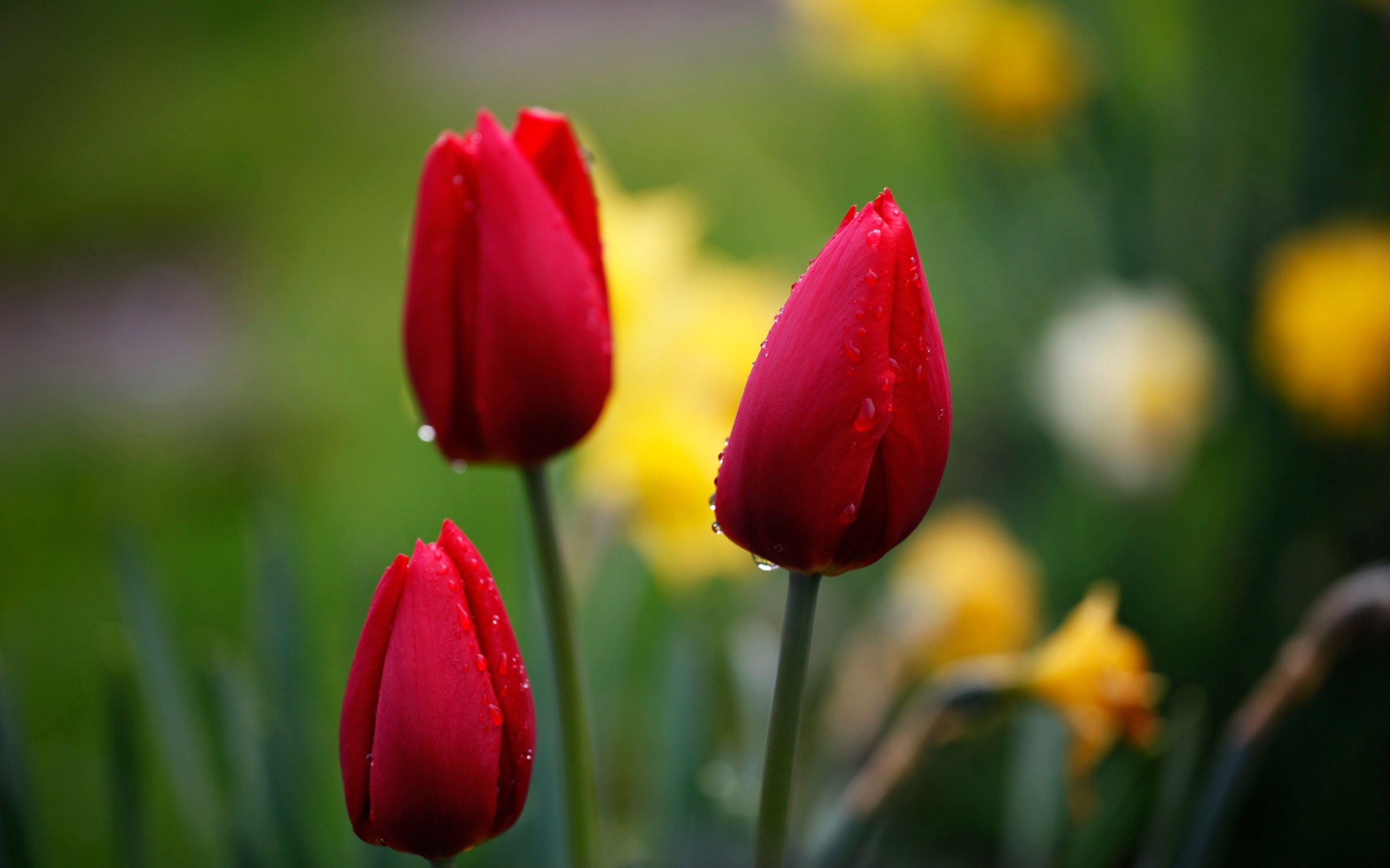 Pin By Randsarhan On Flowers In 2020 Flower Seeds Wallpaper Nature Flowers Red Tulips