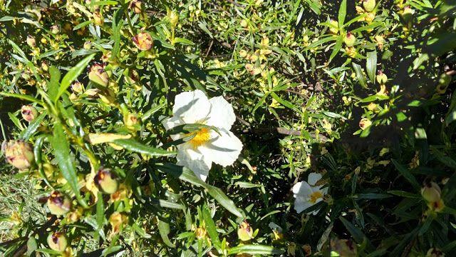 Cistus ladanifer L. (jara pringosa). | Arbustos y Cartelitos