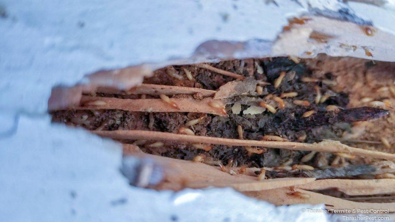 Formosan Subterranean Termite Structural Damage La Mesa 2018 Termite Control Termite Treatment Termites