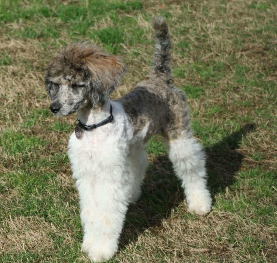 Cache Brindle Merle Standard Poodle Copperheadpuppies Poodle