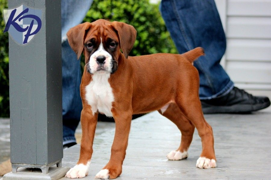 Boxer Puppies For Sale 95366