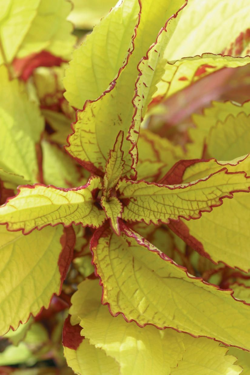 Pineapple coleus contrasting lime green yellow and red foliage all pineapple coleus contrasting lime green yellow and red foliage all summer foliage interest heat shade flowersyellow mightylinksfo Gallery