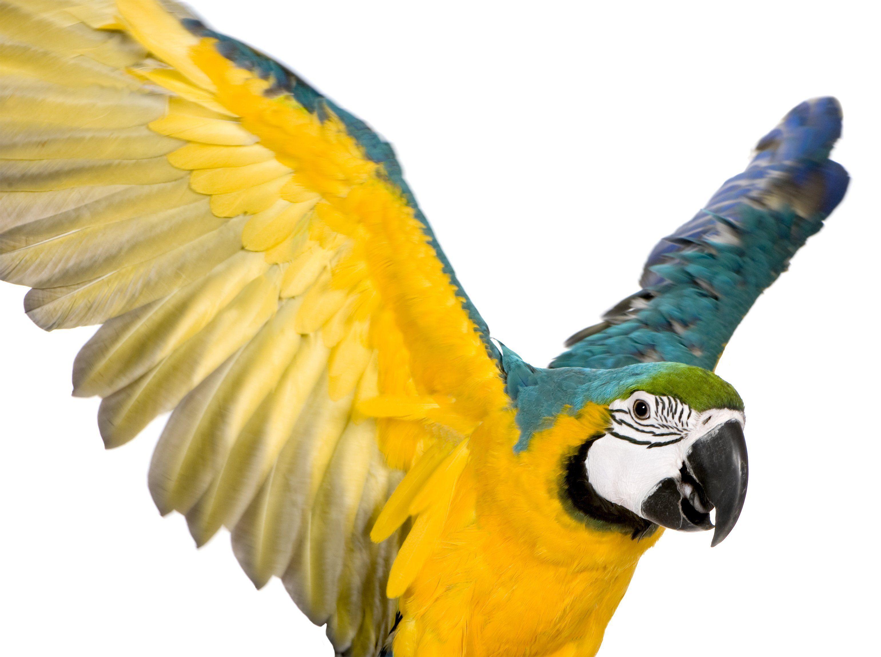 Bird Wing Clipping Information Parrot Bird Wings Avian Veterinarian