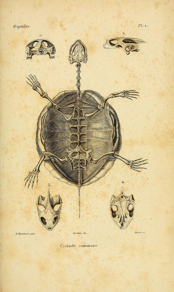 This would be an awesome tattoo - a turtle skeleton | TATTOOS ...