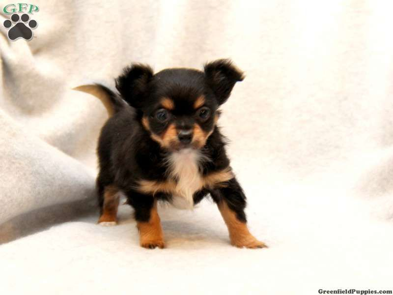 Chihuahua Rottweiler Puppies Cute Animals Pinterest Puppies