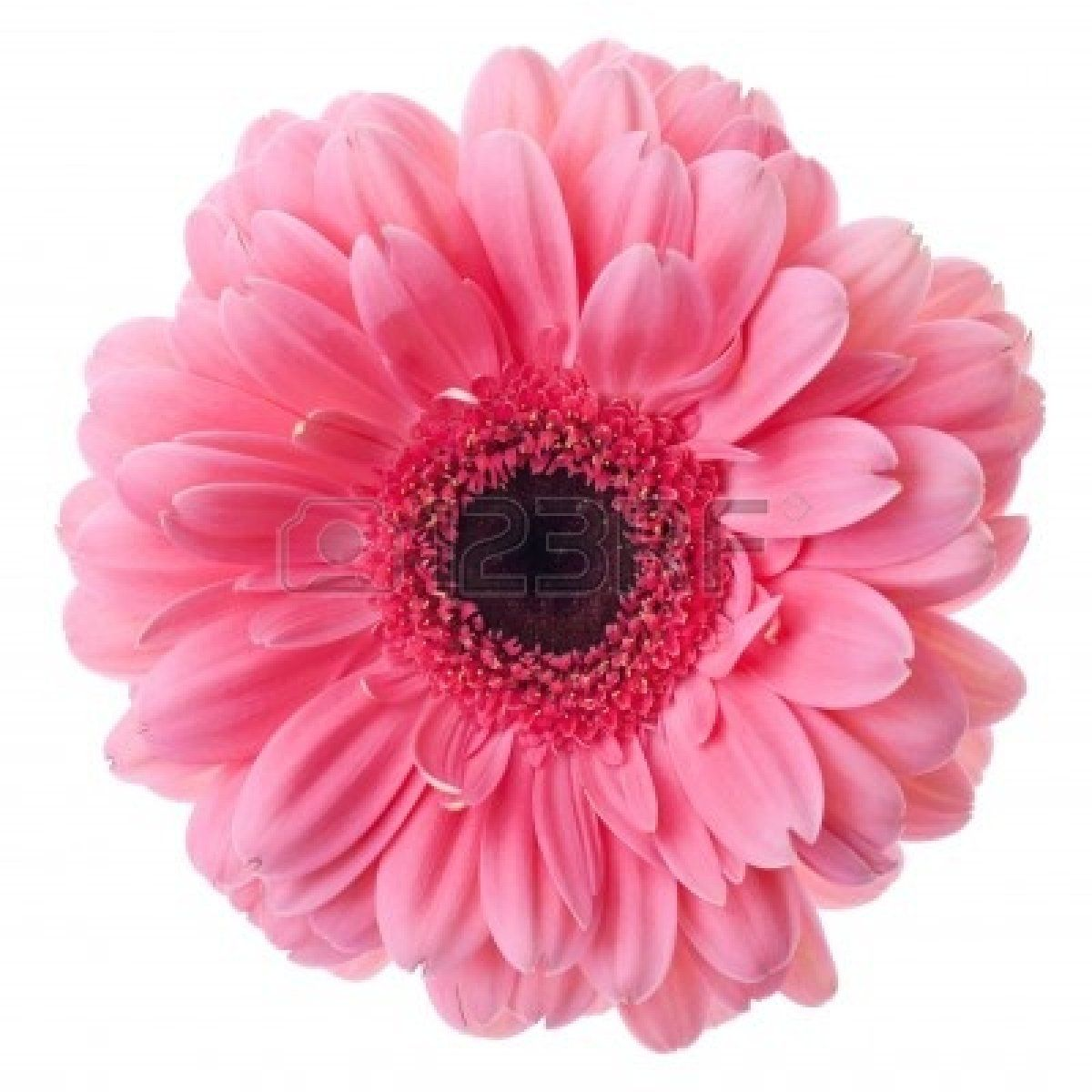Gerbera Images Stock Pictures Royalty Free Gerbera Photos And Pink Gerbera Gerbera Gerbera Flower