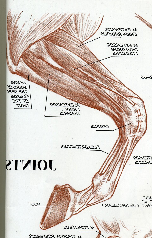 Pin von Ja Ma auf Pferde Muskulatur | Pinterest | Pferde, Anatomie ...