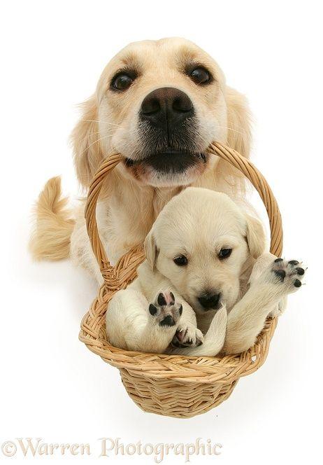 Golden Retriever With Puppy In A Basket Retriever Puppies