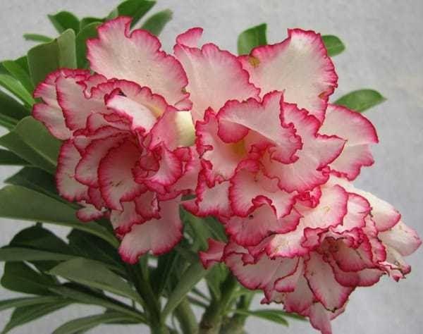 12 Gambar Bunga Pansy Pink Kumpulan Nama Bunga Lengkap Dari A Z Beserta Gambar Dan Download Jual Benih Biji Bu Di 2020 Bunga Pansy Bunga Iris Lukisan Bunga Matahari