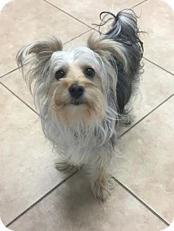 Reisterstown Md Maltese Yorkie Yorkshire Terrier Mix Meet Maya A Dog For Adoption Http