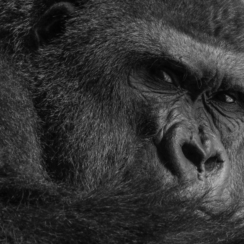 Experience graphic design gorilla great ape silverback
