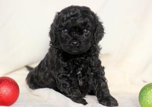 Cavapoo puppy for sale in MOUNT JOY, PA. ADN53687 on