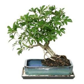 The Brussels Bonsai Dwarf Hawaiian Umbrella Tree In Water Pot Adds Tropical Beauty To Your Office Or Home It Provides Ver Umbrella Tree Bonsai Buy Bonsai Tree