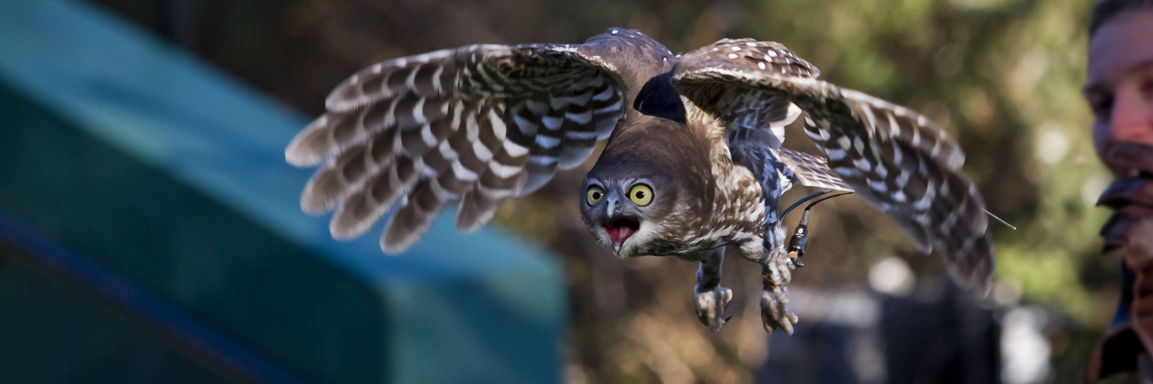 ITAP of Ripley the Barking owl http://ift.tt/2lGHn7u