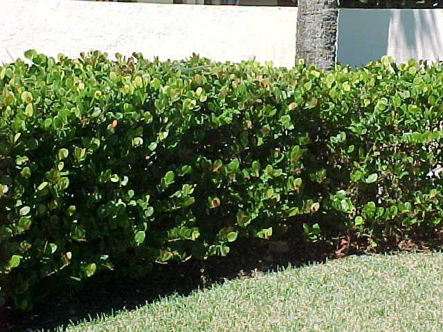 your south florida hedge plants alternatives list