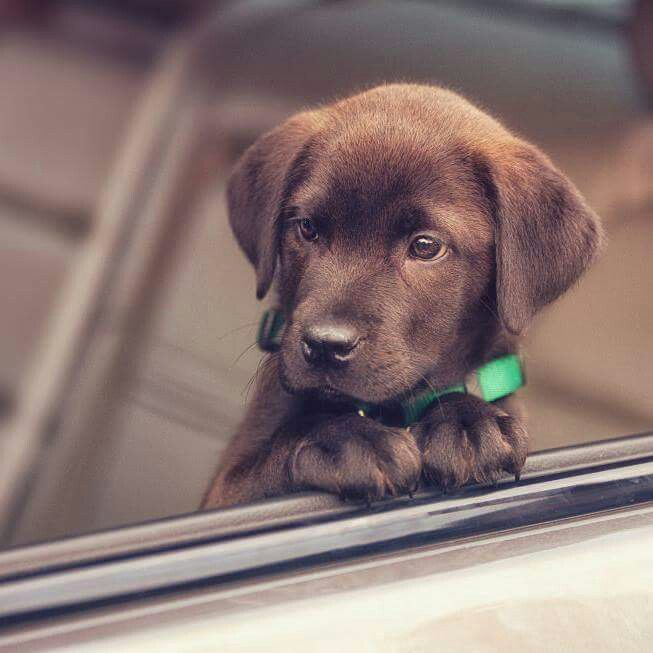 The Best Things About Owning A Labrador Retriever Tiere Hunde