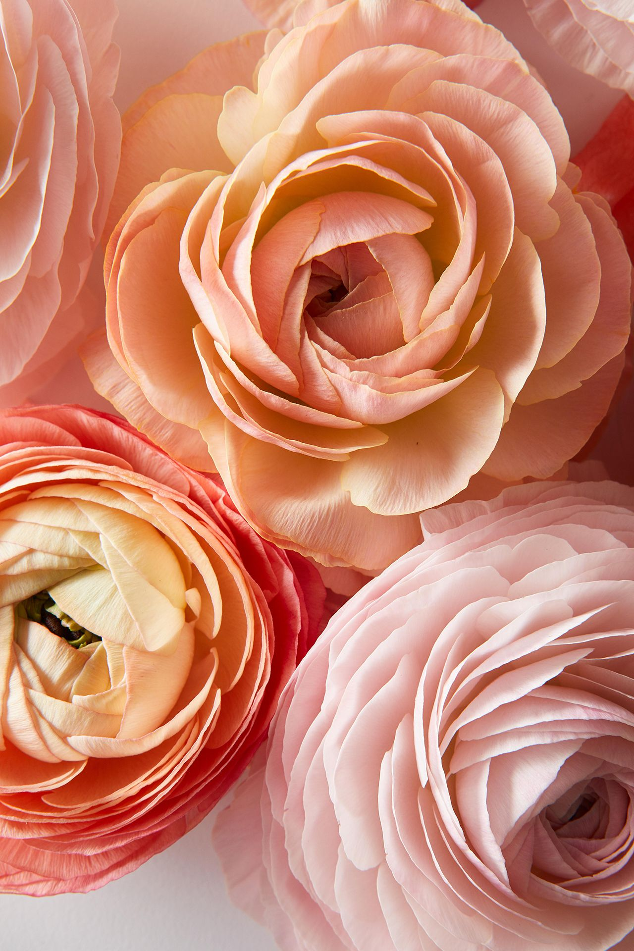 5 Fascinating Facts Every Ranunculus Lover Needs To Know Flower Lover Flowers Flower Garden Design