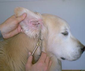 Trimming Up Those Golden Retriever Ears Golden Retriever