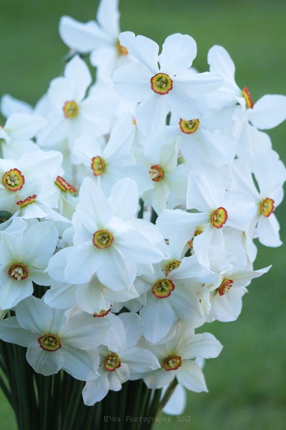 Fiori Narcisi.Buon Martedi Con I Narcisi Narcissus L Fiori Narcisi