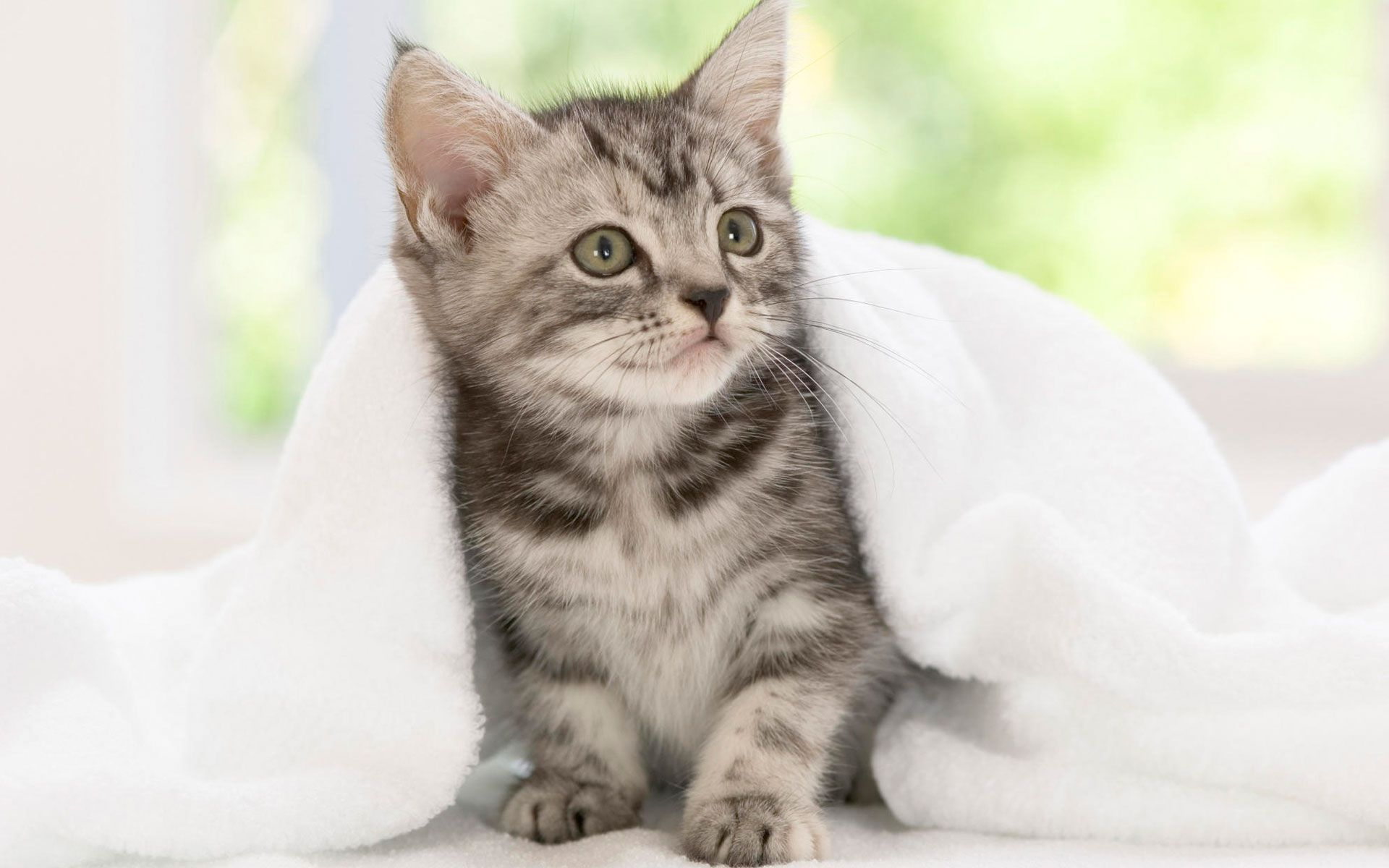 Most Popular Cat Breeds American Shorthair Kitten Kittens