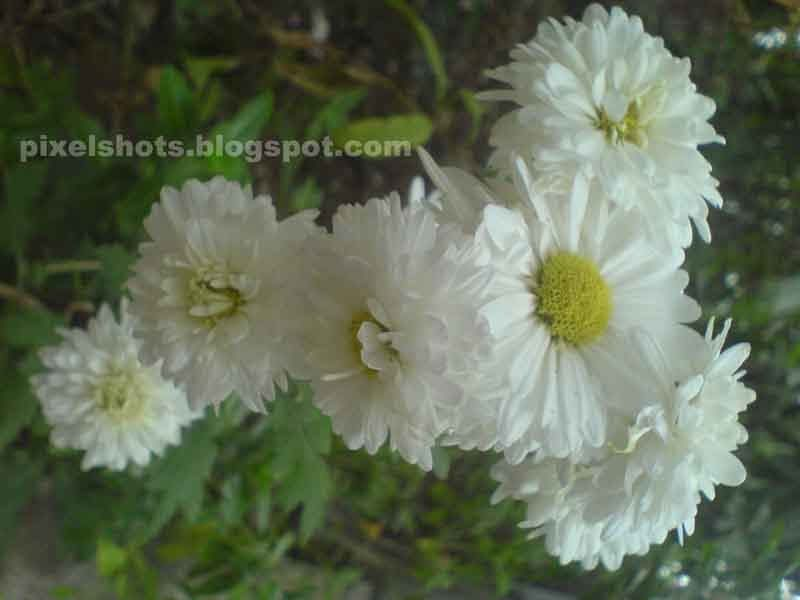 Kerala Flowers Yellow And White Flowers Of Jamanthi Common South White Flowers Flowers Kerala