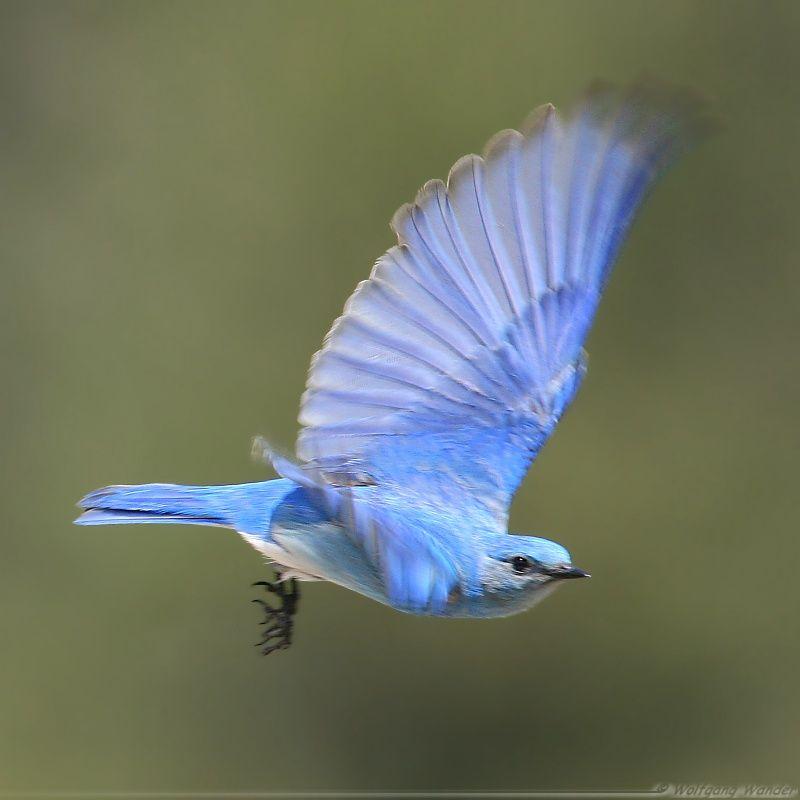 Mountain Bluebird Sialia Currucoides By Wolfgang Wander Blue Bird Flying Bird Tattoo Birds Flying