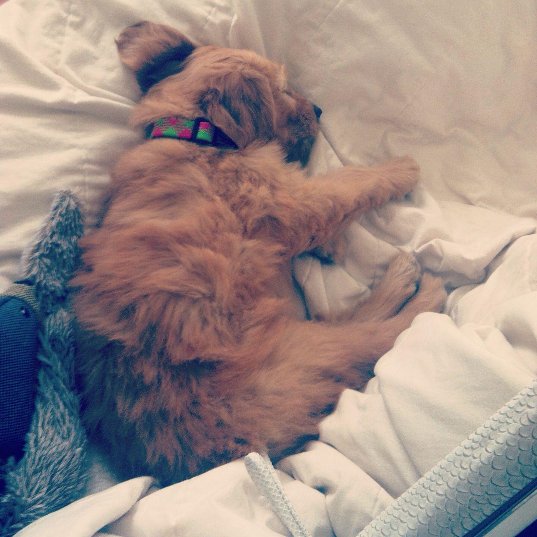Sleeping Golden Doodle Puppy