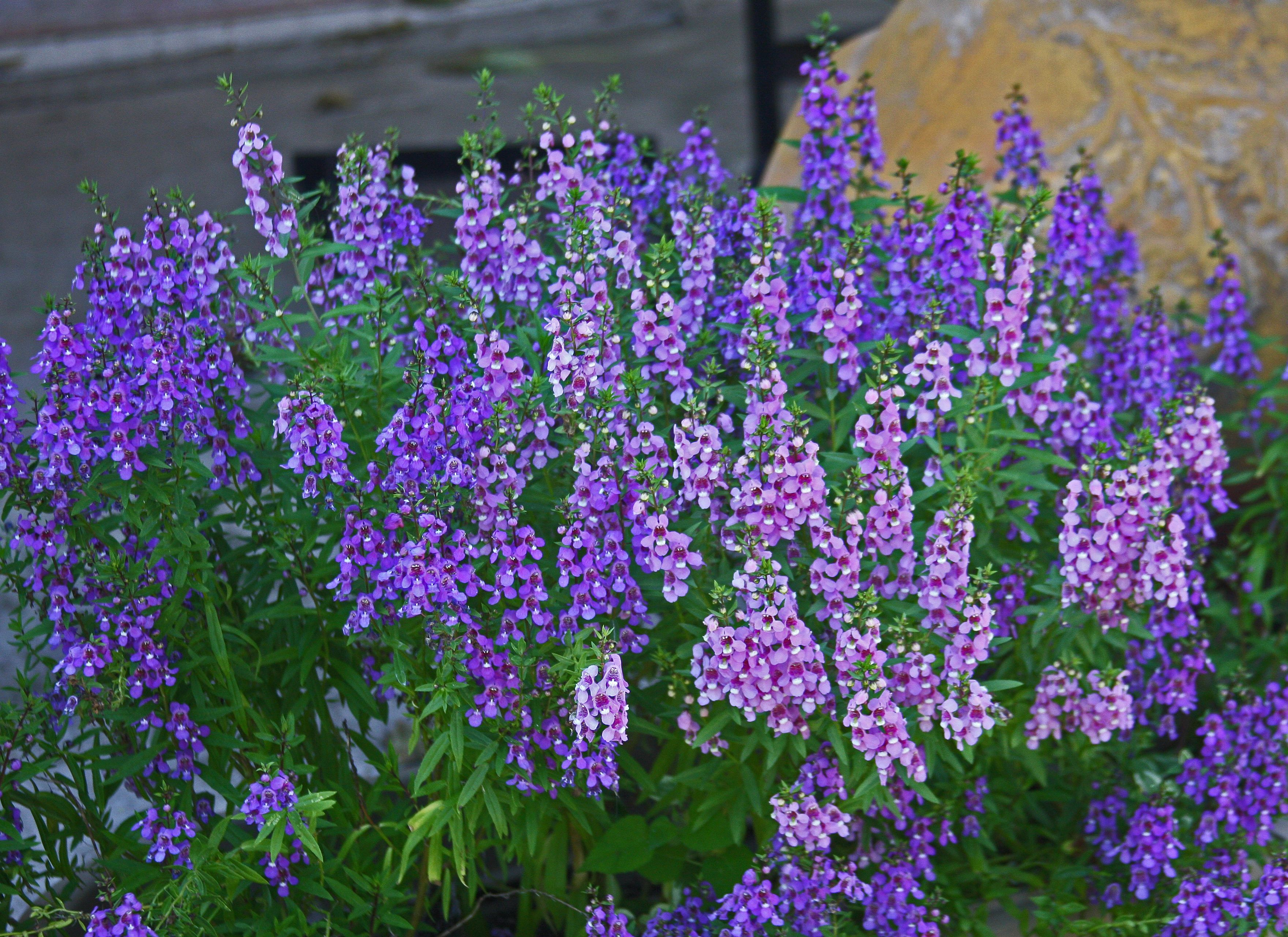 Faux Snapdragon Superstar Can Thrive In Texas Heat Pinterest