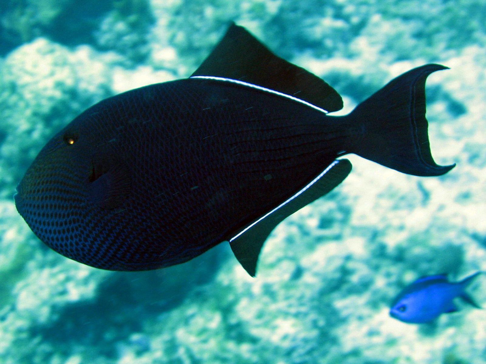 Black Durgon Ocean creatures, Marine fish, Under the sea