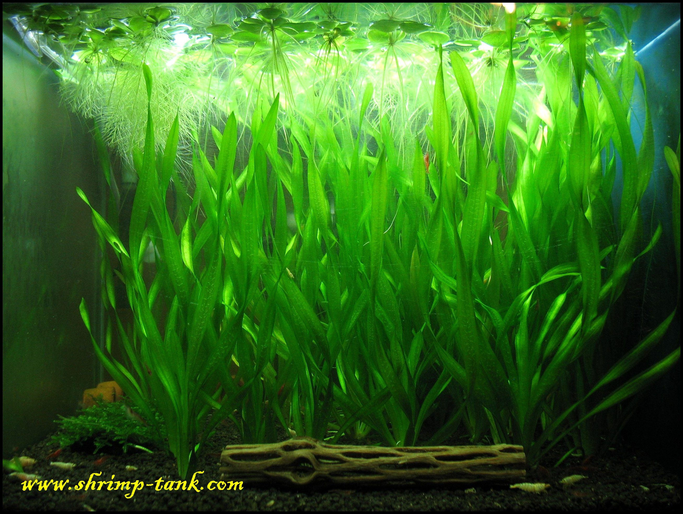 Vallisneria corkscrew in a shrimp tank aquarium for Shrimp fish tank