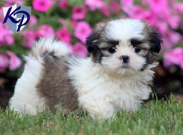 Read Real Keystone Puppies Reviews Shih Tzu Puppy Dog Best