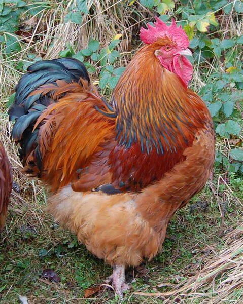 Orpington | Chickens | Breed Information | Omlet US