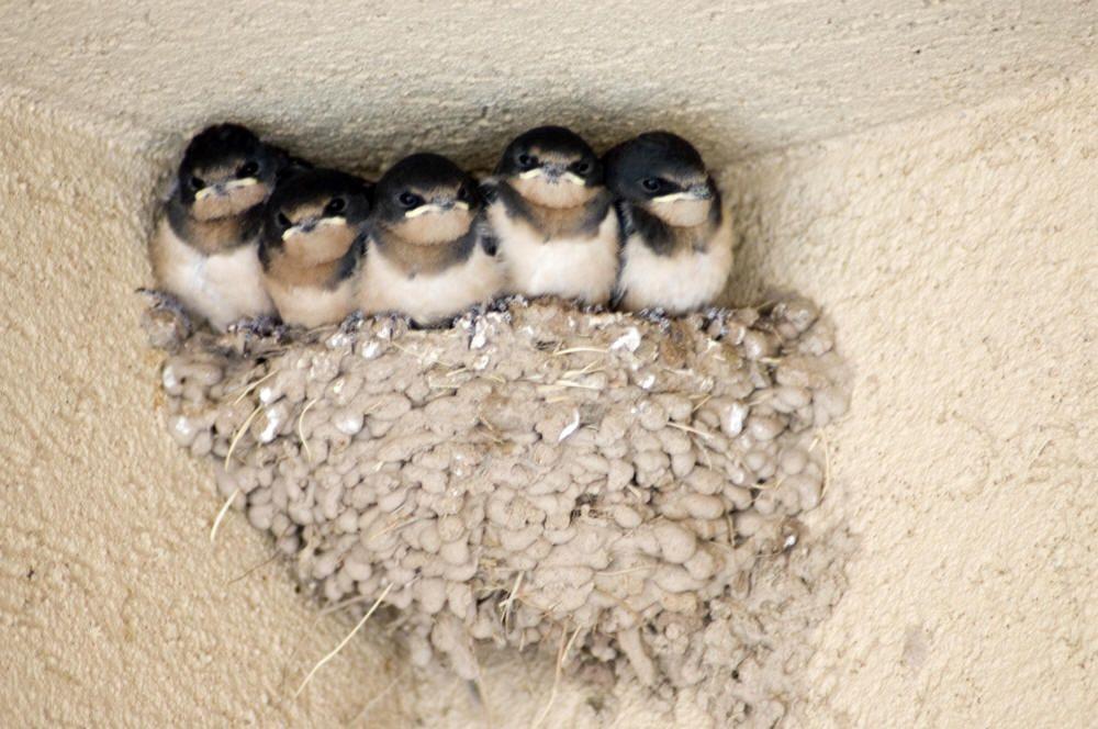 Barn Swallow babies in the nest | Nidos de aves, Hirundo ...