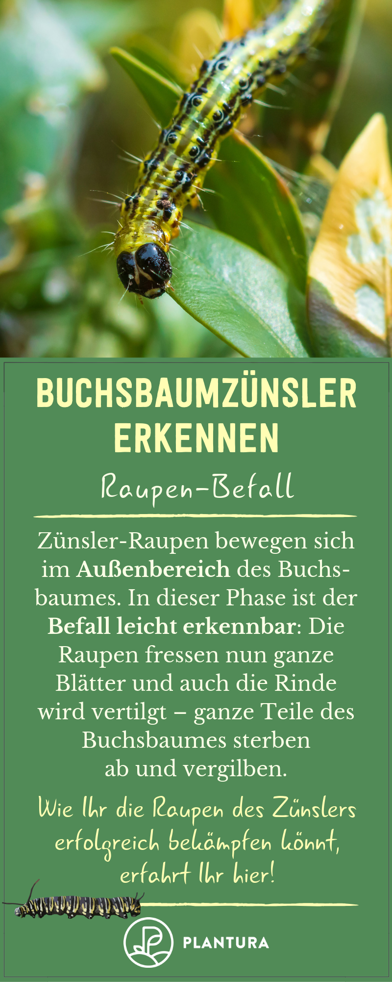 Buchsbaumzunsler Erkennen Anzeichen Bilder Buchsbaumzunsler Schadlinge Im Garten Pflanzenschutz
