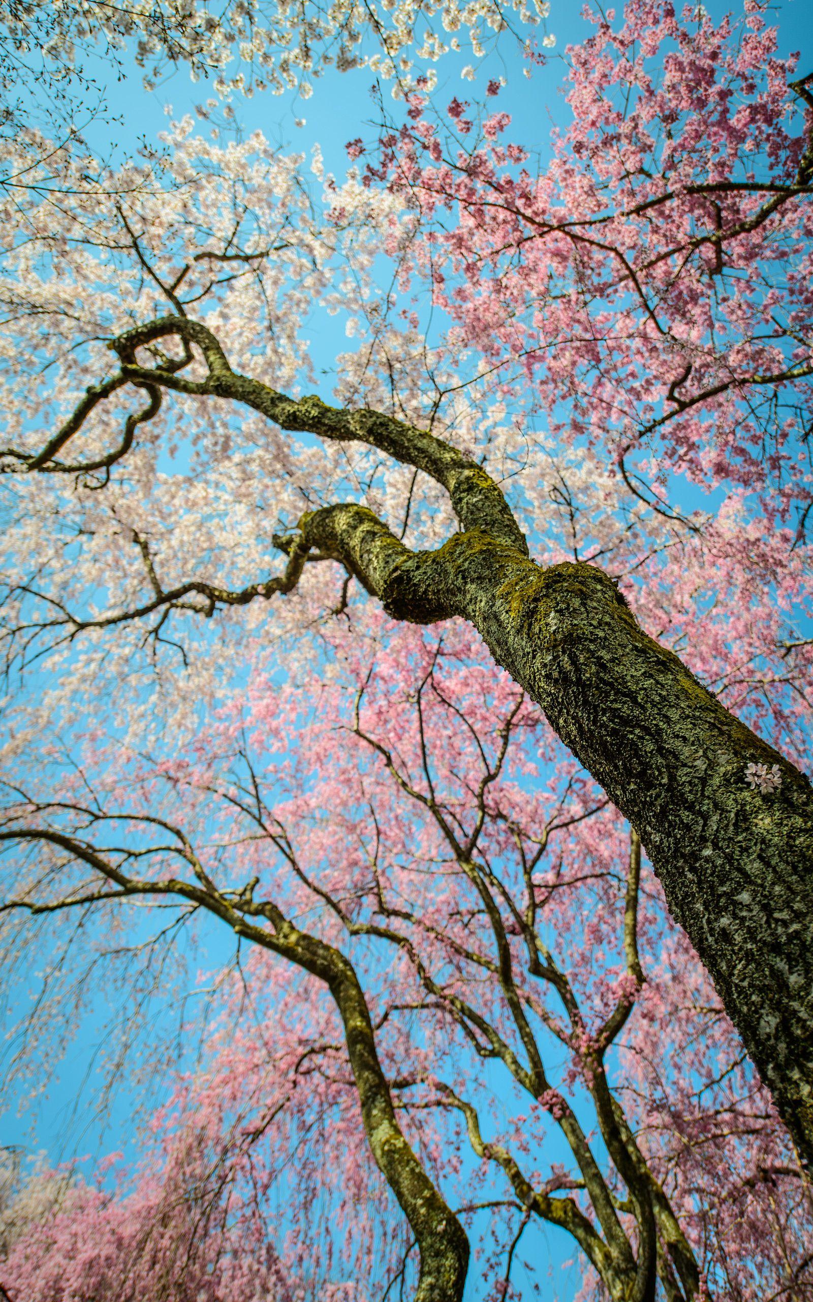 Photos From Jeffrey Friedl S Blog Desktop Backgrounds Vertical Photostream Cherry Blossom Art Cherry Blossom Japan Sakura Cherry Blossom