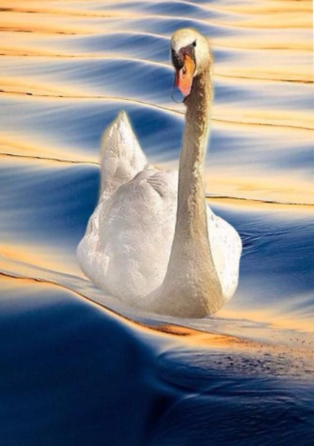 Swan. - Gerard Klein @Bazaart