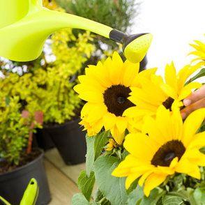 Sonnenblume Pflanzen Und Pflegen: Tipps | Gärtnern/pflanzen ... Pflege Von Chrysanthemen Zucht Andere Ideen