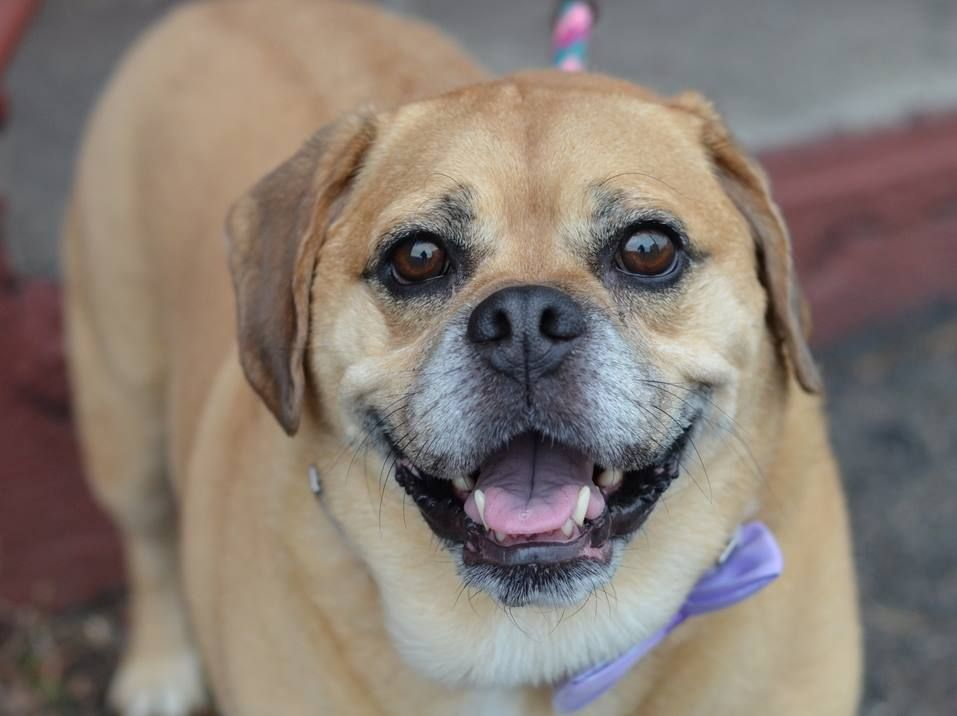TO BE DESTROYED FRI 09/26/14-Brooklyn Center NINO - A1014629 ***NEW HOPE RESCUE ONLY*** NEUTERED MALE, TAN, PUG / BEAGLE, 6 yrs OWNER SUR - EVALUATE, NO HOLD Reason DESTRUCTIV Intake condition EXAM REQ Intake Date 09/19/2014, From NY 11412, DueOut Date 09/19/2014,