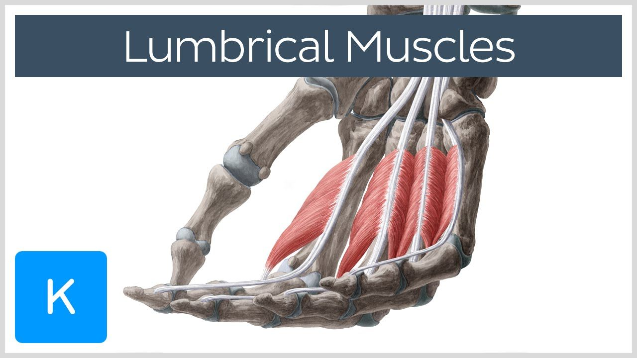 Lumbrical Muscles Of The Hand Definition Anatomy Human Anatomy