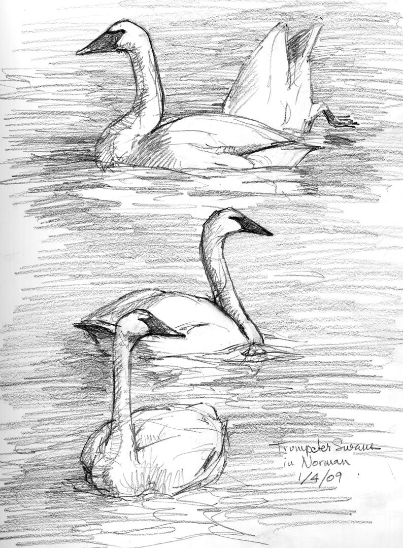 North American Bird Sketches