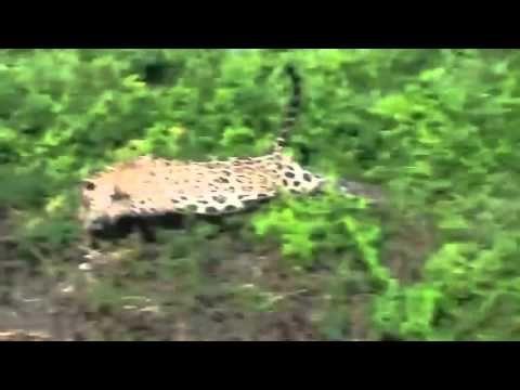 Universidades Del Mundo: !!! IMPRESIONANTE !!! VIDEO: Mire como este Jaguar...