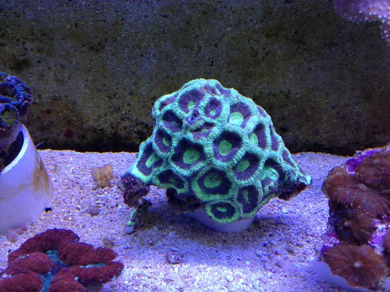 Goniastrea sp. - Green Eyed Moon Coral