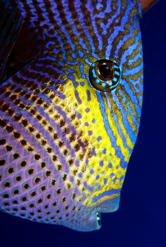 The Black Durgon Melichthys Niger Is A Member Of The Triggerfish Family That Feeds On Algae And Zooplankton Hawaii Reef Fish Fish Fish Trigger Sea Creatures Underwater Life Underwater Creatures