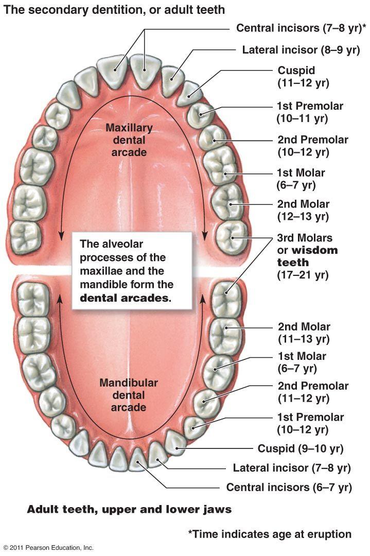 diagram-human-teeth_37117.jpg (719×1080) | The art of art ...