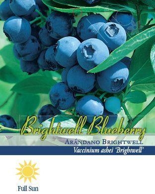 Pirtle Nursery Brightwell Blueberry #2, 1.5 gal.