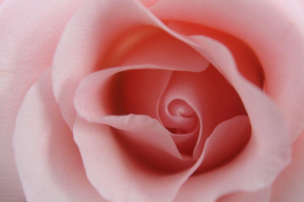 透明感のあるピンク色の薔薇 無料画像 フリー写真素材 Activephotostyle 花の写真 花 壁紙 バラ
