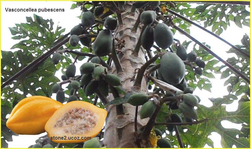 انواع اشجار فاسكونسيليا البابايا Vasconcellea قائمة الفواكهة النبات معلومان عامه معلوماتية Fruit