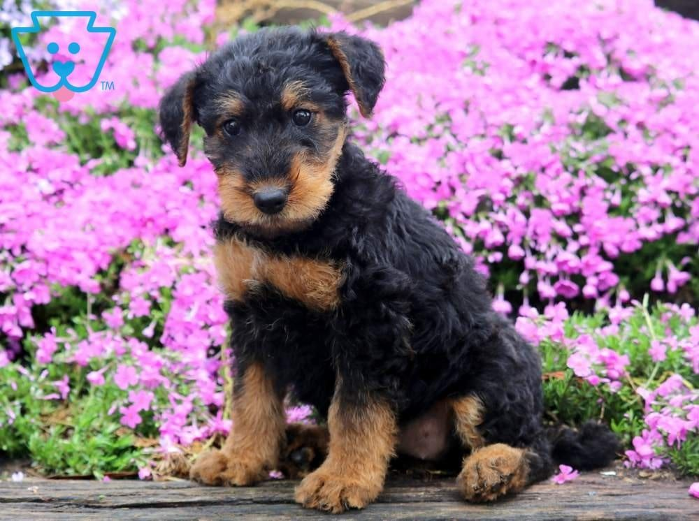 Tizzy Airedale Terrier Terrier Puppies Airedale Puppies For Sale